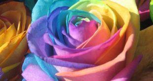 بالصور اجمل وردة في العالم , تعرف علي اجمل وردة علي سطح الارض 2596 310x165