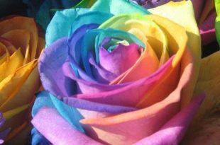 بالصور اجمل وردة في العالم , تعرف علي اجمل وردة علي سطح الارض 2596 310x205