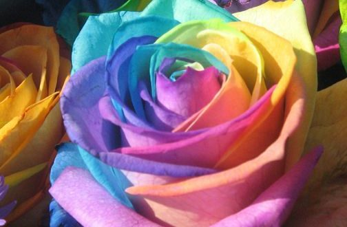 بالصور اجمل وردة في العالم , تعرف علي اجمل وردة علي سطح الارض 2596 504x330