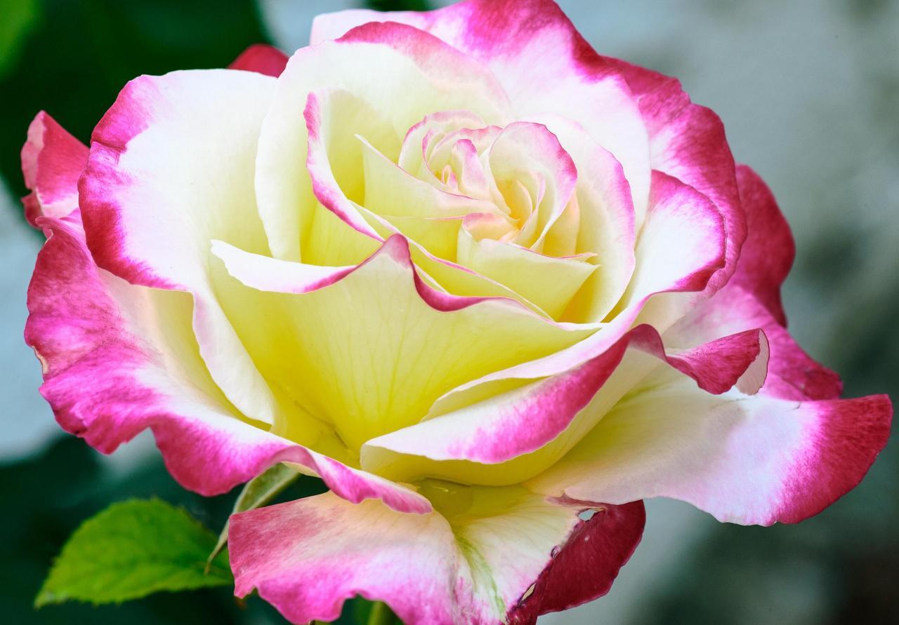 بالصور اجمل وردة في العالم , تعرف علي اجمل وردة علي سطح الارض 2596 8