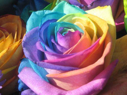 صور اجمل وردة في العالم , تعرف علي اجمل وردة علي سطح الارض