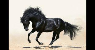 صورة خيول عربية , شاهد اجمل صور الخيل العربي الاصيل