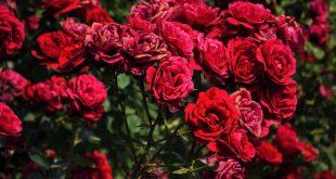 بالصور صور ورد طبيعي , الورد الطبيعي وجماله 2398 310x165