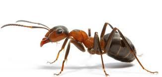 بالصور كيفية التخلص من النمل في المنزل , معالجه حشرات المنزل 12348 10