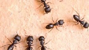 بالصور كيفية التخلص من النمل في المنزل , معالجه حشرات المنزل 12348 4