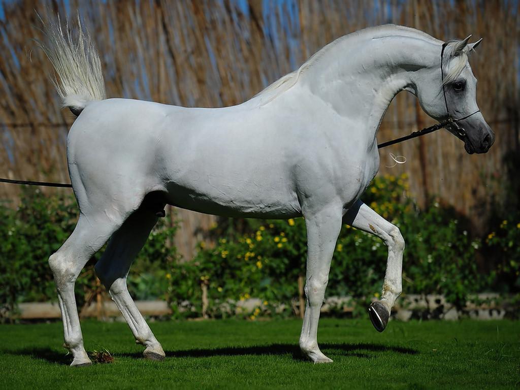 صور الخيول العربية الاصيلة , صور اجمل الخيول العربية الاصيلة