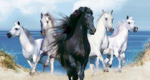 صورة صور خيول اصيلة , صور اجمل الخيول الاصيلة