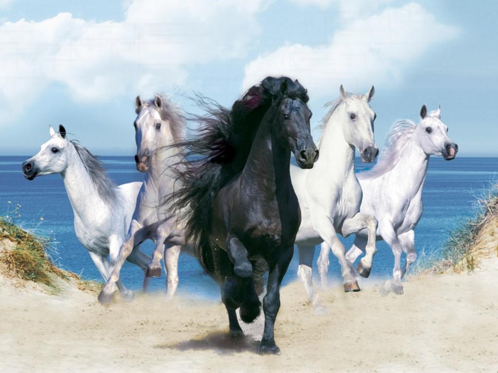 صور صور خيول اصيلة , صور اجمل الخيول الاصيلة