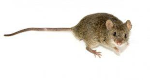صور معلومات عن الفئران , ما لا تعرفه عن الفئران
