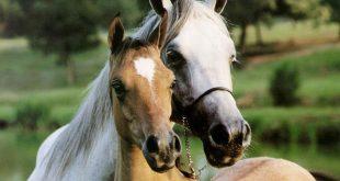 صورة صور خيول جميلة , اجمل صور للخيول الاصيلة