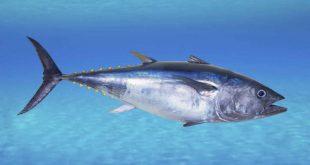 صور تفسير حلم اكل التونه , ماهو تفسير رؤيا سمك التونة في المنام