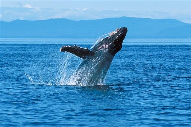 صور تفسير حلم الدولفين في البحر , الدولافين ومعنى ظهوره