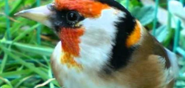 صورة كم مرة تبيض انثى الحسون في السنة , طائر له صوت عذب