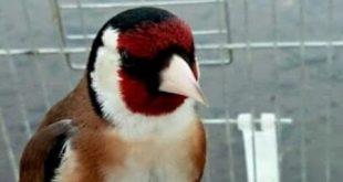 صور كم مرة تبيض انثى الحسون في السنة , طائر له صوت عذب