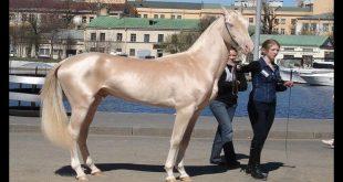 صورة اجمل خيول في العالم , اجمل فرس في العالم