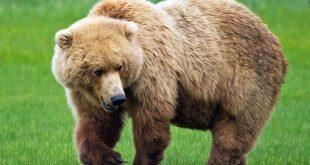 صورة هتتفاجا بالمعلومات دى , معلومات عن الدب