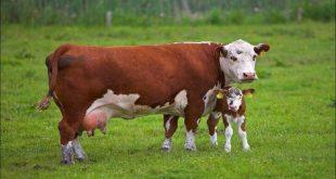 صورة ايه تفسير الحلم ده بقى , رؤية البقر في المنام